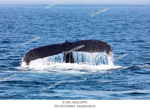 Tail of Whale, Cape Cod