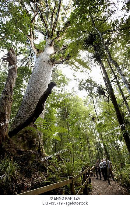 Kauri tree, Waipoua Forest, Northland region, North Island, New Zealand