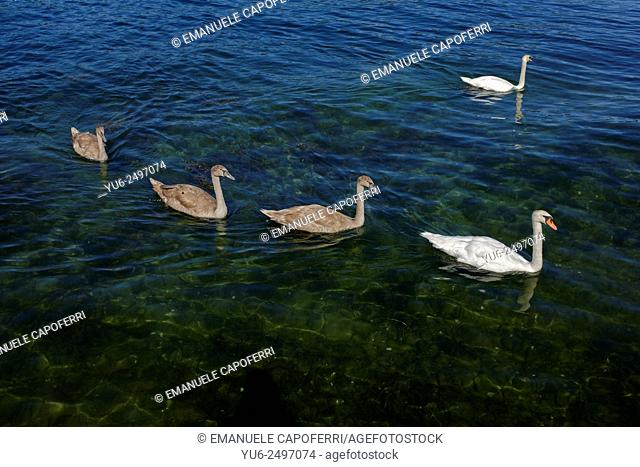 Family of swans, Lake Maggiore, Ranchi, Lombardy, Italy