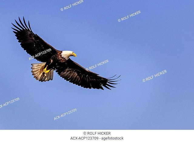 Bald eagle soaring on a beautiful spring day above the Broughton Archipelago, First Nations Territory, British Columbia, Canada