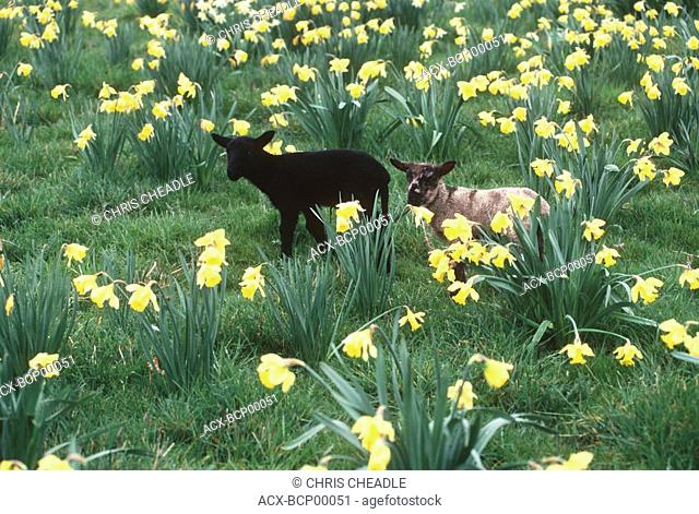 young black lamb in daffodil field, Vancouver Island, British Columbia, Canada