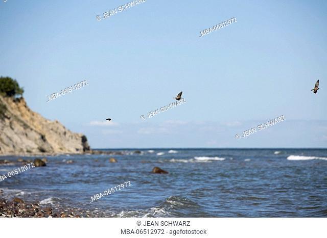Arctic terns at the steep coast of Hiddensee Island