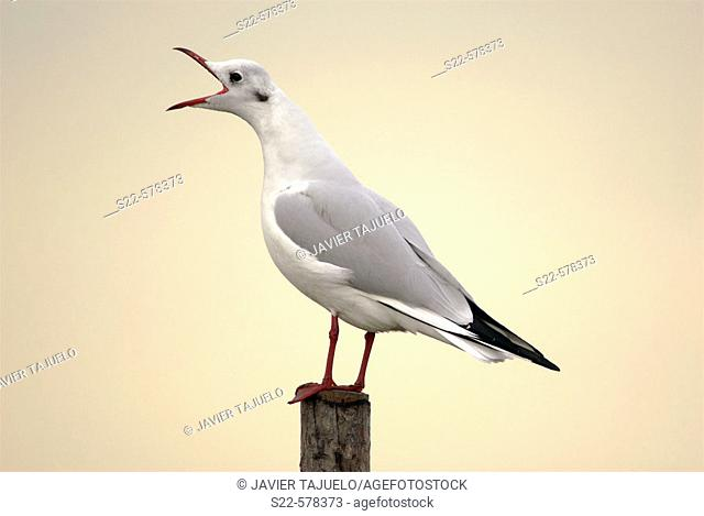 Black-headed Gull (Larus ridibundus). La Albufera National Park, Comunidad Valenciana, Spain