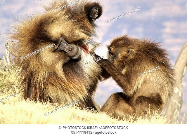 Africa, Ethiopia, Simien mountains, Gelada monkeys Theropithecus gelada social activity