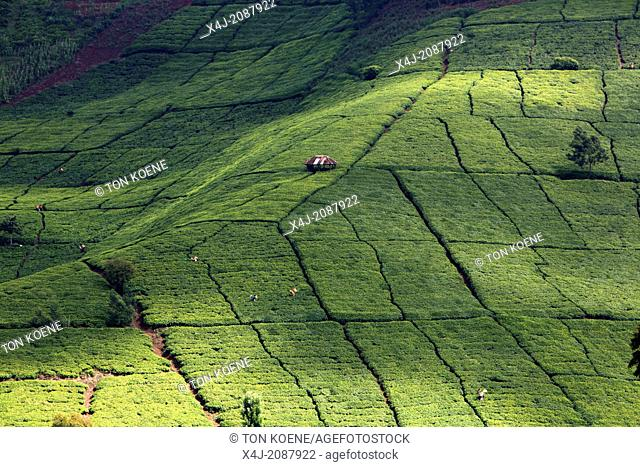 tea production in Kenya