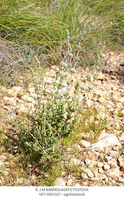 Garranchuelo (Sideritis osteoxylla) is a subshrub endemic to Cabo de Gata Natural Park, Almeria province, Andalucia, Spain