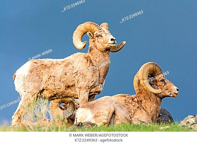 Yellowstone, Rocky Mountain Bighorn Sheep near Mount Everts and Rescue Creek at Yellowstone National Park in southern Montana