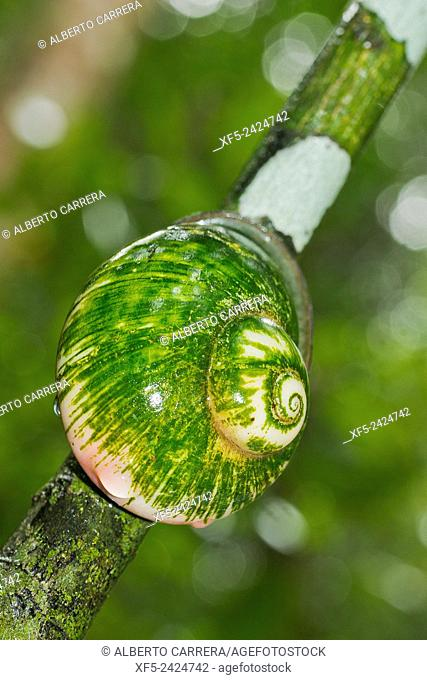 Giant Tree Snail, Acavus phoenix, Sinharaja National Park Rain Forest, Sinharaja Forest Reserve, World Heritage Site, UNESCO, Biosphere Reserve