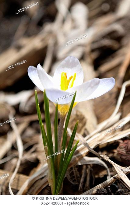 A white Snow Crocus in bloom