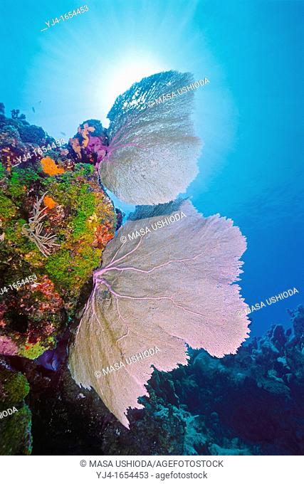 common sea fan, Gorgonia ventalina, or Venus sea fan, Gorgonia flabellum, Key Largo, Florida Keys National Marine Sanctuary, Florida, USA, Caribbean Sea