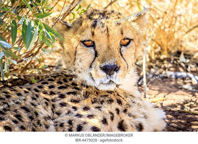 Cheetah (Acinonyx jubatus), captive, Okonjima AfriCat Foundation, Otjiwarongo, Namibia