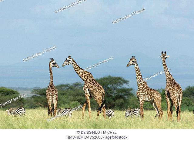 Kenya, lake Magadi, Girafe masai (Giraffa camelopardalis), herd and zebras