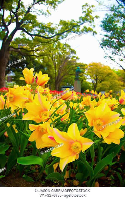 Tulips in Tokyo, Japan. Tokyo is one of the important cities in Japan for cultures and business markets