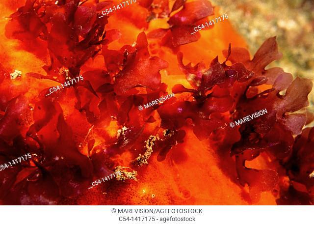 Red Seaweed (Cryptopleura ramosa), Eastern Atlantic, Galicia, Spain