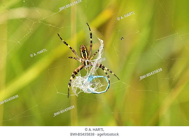 Black-and-yellow argiope, Black-and-yellow garden spider (Argiope bruennichi), with caught damselfly in the web, Germany, Bavaria