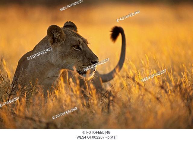 Africa, Botswana, Lioness in central kalahari game reserve