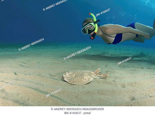 Diver, woman snorkeling next to the Panther Electric Ray (Torpedo panthera), swimming over a sandy bottom, Red Sea, Marsa Alam, Abu Dabab, Egypt