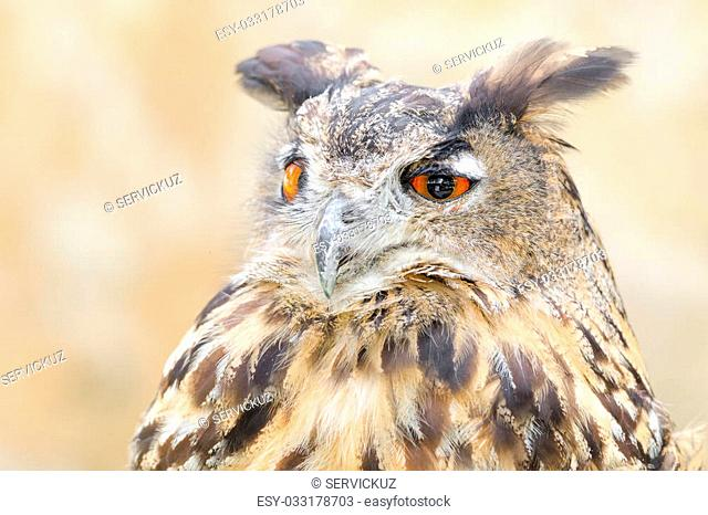 Bubo or eagle-owl bird quiet night hunter close up portrait against blurred background