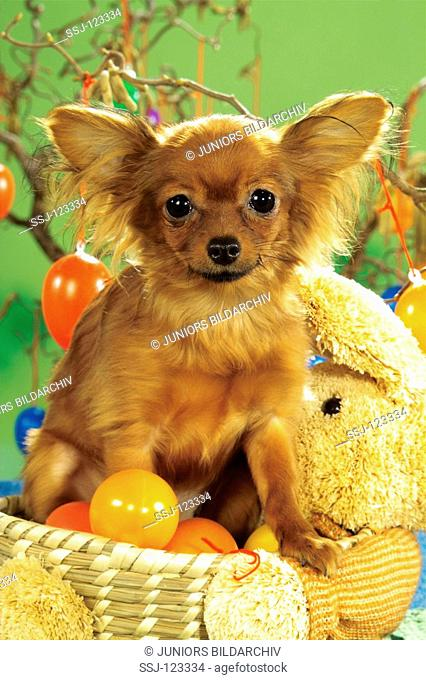 Russian Toy Terrier - sitting in basket with Easter eggs