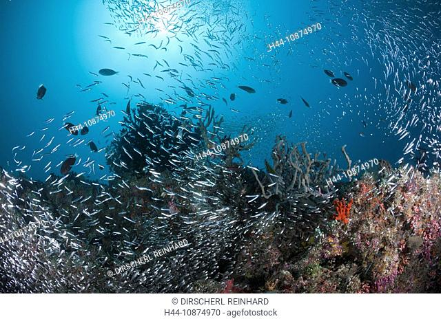 Riff mit Glasfischen, Parapriacanthus sp., Maya Thila, Nord Ari Atoll, Malediven, Coral Reef with Pigmy Sweepers, Parapriacanthus sp