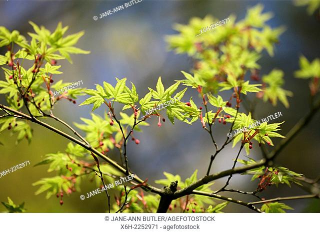 acer palmatum in Spring, blue sky, hope and vitality