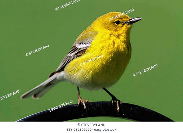 Pine Warbler (Dendroica Setophaga pinus) on a perch in early spring