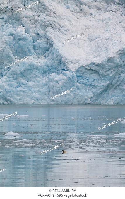 Polar bear, Ursus maritimus, Hunting in front of a glacier, Svalbard, Norway