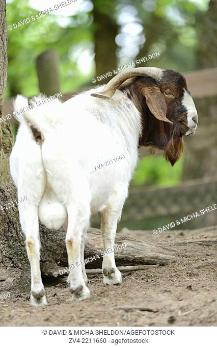 Close-up of a Boer goat in a park in spring