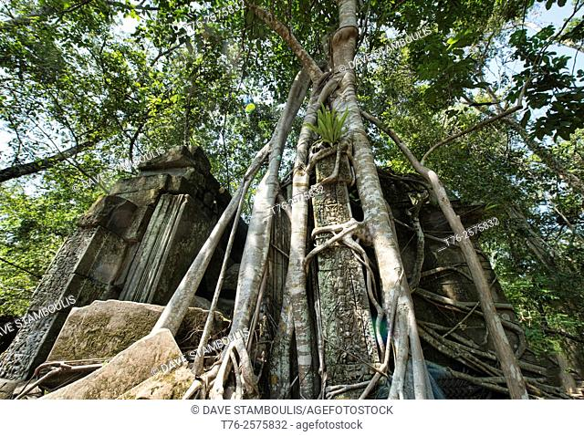 Roots taking over the jungle temple of Beng Mealea, Siem Reap, Cambodia