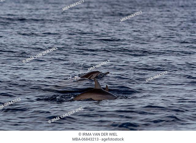 Dolphins swim in the Indian ocean