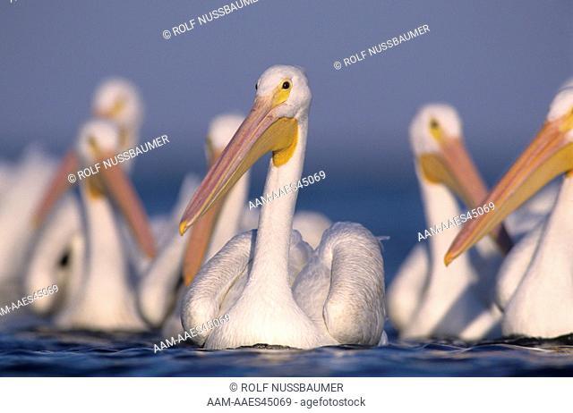 American White Pelican (Pelecanus erythrorhynchos) Group swimming, Rockport, Texas, USA, December 2003