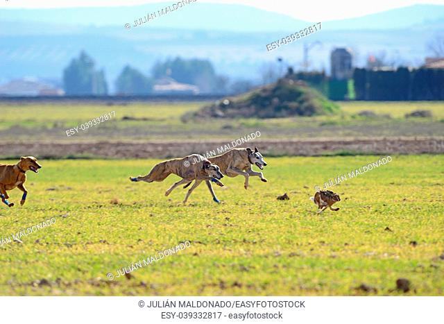 Greyhounds running behind a Hare on a hunting day in Almagro, Spain