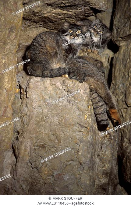 Pallas Cats, N Asia