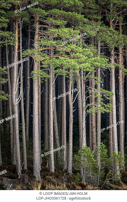 Tall Scots Pine on Loch Mallachie in the Cairngorms National Park of Scotland