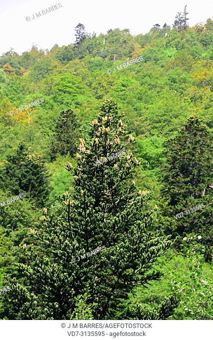 European silver fir (Abies alba) with cones. Boi Valley, Lleida province, Catalonia, Spain