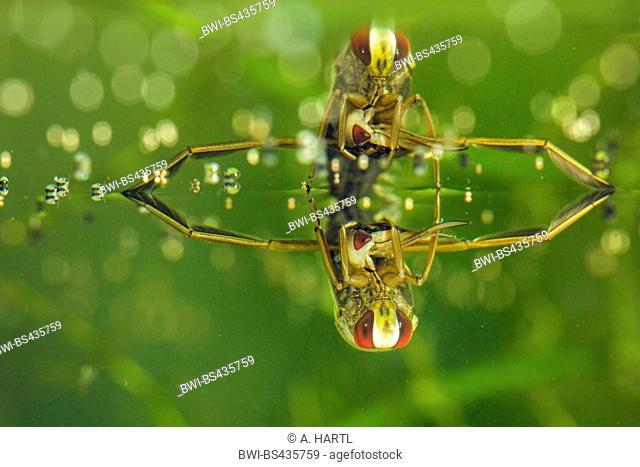 backswimmer, water boatman (Notonectidae), feeding on a bug, Germany