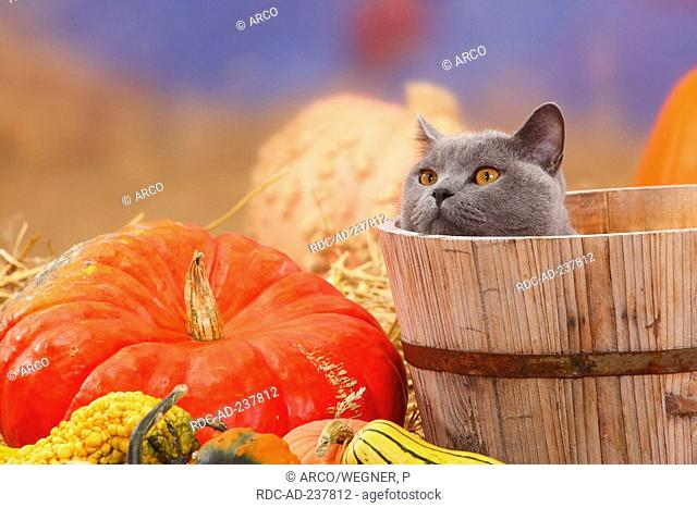 British Shorthair Cat, blue, tomcat / pumpkins, hidden