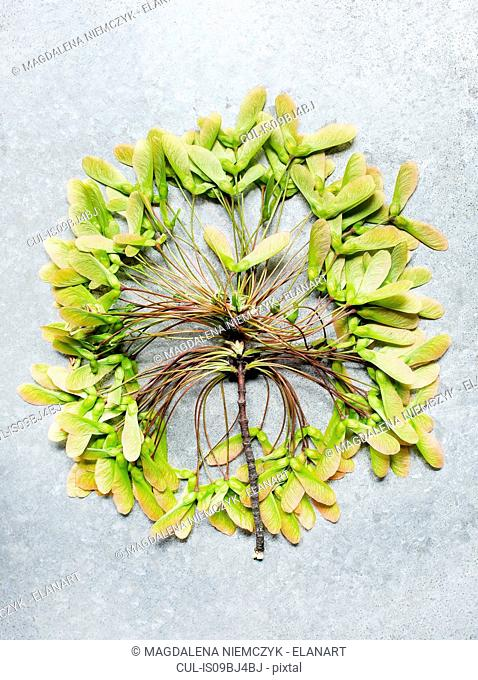 Circle of leaves on twig, overhead view