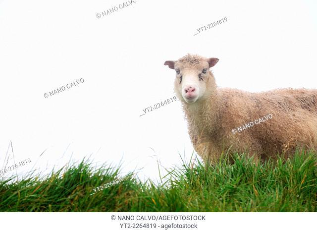Faroese sheep in Mykines, Faroe Islands