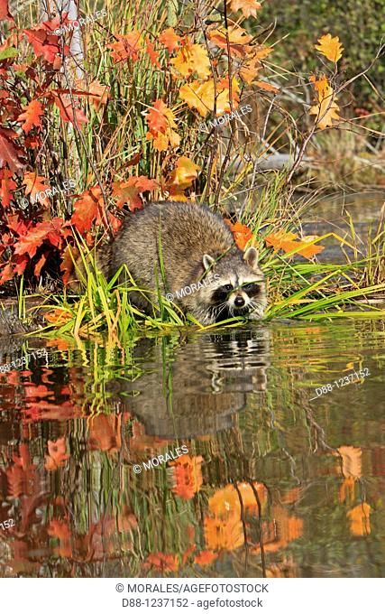 Raccoon or racoon  Adult  Procyon lotor  Order : Carnivora  Family , Procyonidae