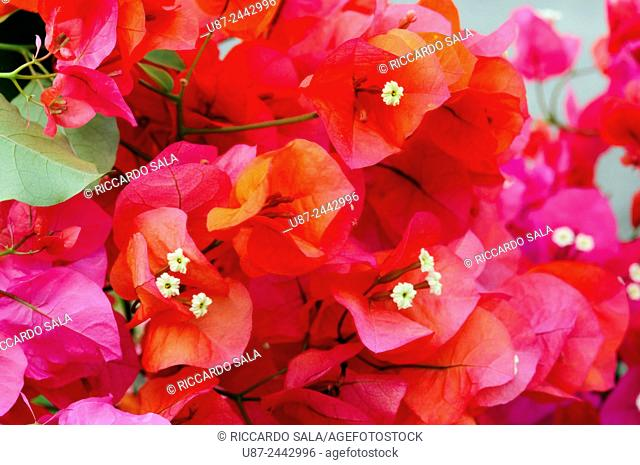 Italy, Lombardy, Bougainvillea Flowers. . . .