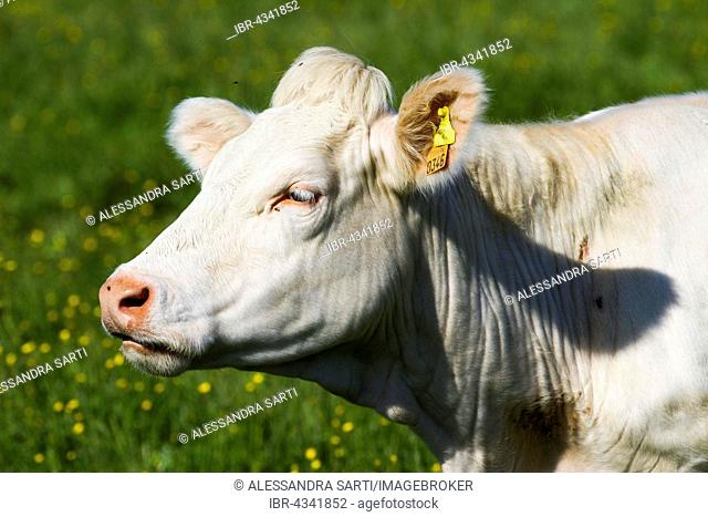Charolais Cattle, cow, portrait, Brittany, France