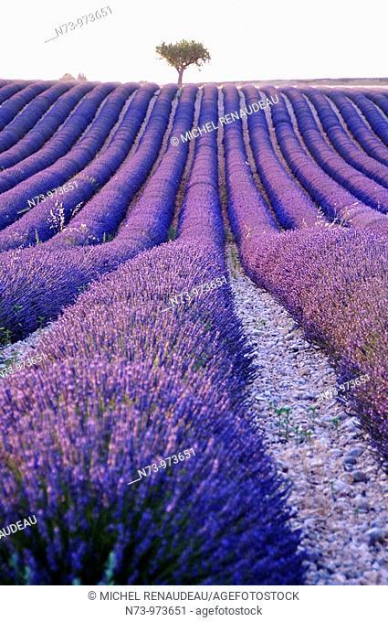 France, Alpes-de-haute-provence, champs de lavande sur le plateau de Valensole
