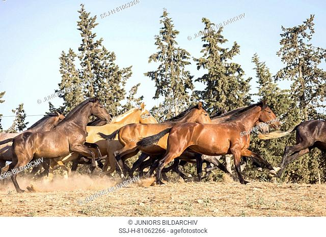 Pure Spanish Horse, Andalusian. Herd of juvenile mares galloping on dry ground. Spain