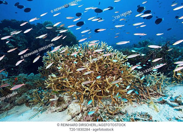 Shoal of Banana Fusiliers over Reef, Pterocaesio pisiang, Thaa Atoll, Maldives
