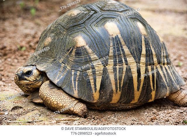 Radiated tortoise (Astrochelys radiata), Belo Sur Mer, Madagascar