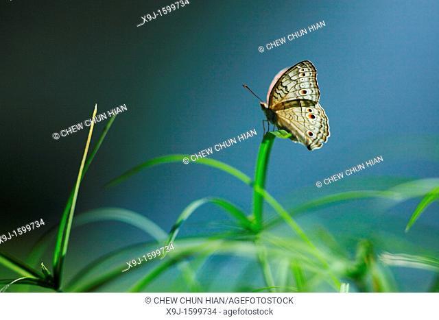 Butterfly, Junonia atlites, Borneo, Asia