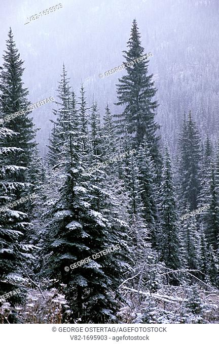 Snowy forest near Rattlesnake Creek, Okanogan National Forest, Washington
