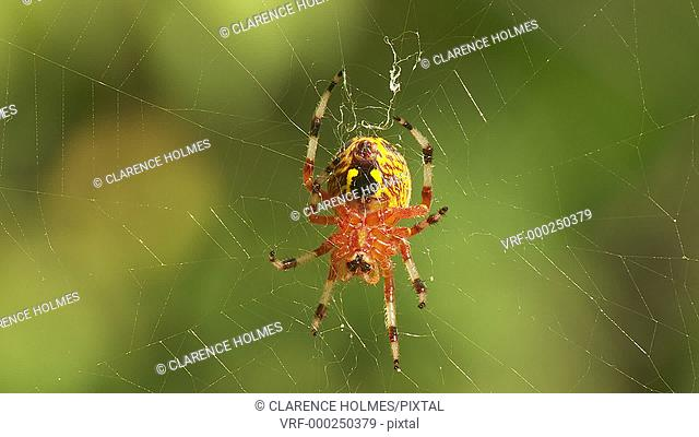 A female Marbled Orbweaver (Araneus marmoreus) spider waits on its web for prey