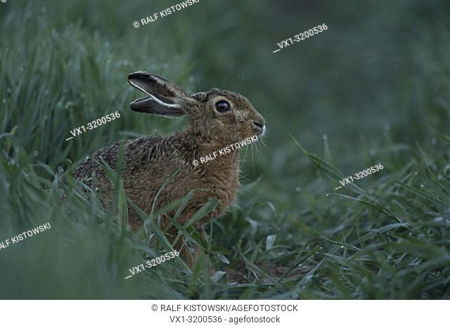 Shy Brown Hare / European Hare sits in a green corn field between high wet grasses at dawn, before sunrise